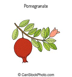 Pomegranate Punica granatum branch with fruit and leaves