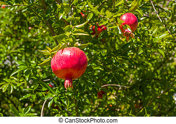 pomegranate, ripening on the tree with green leaves