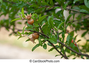 Pomegranate. the young fruit on a green branch with leaves of the pomegranate tree in the spring,