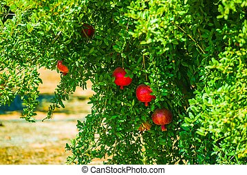 Pomegranate Tree and Fruits. California Organic Produce.