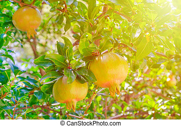 pomegranate tree with a fruit in sunny garden