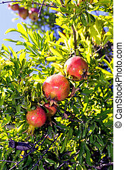 pomegranates on a tree in a garden