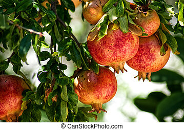 Pomegranates with green leaves on a tree