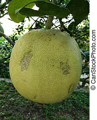 Pomelo fruit hang on the tree