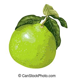 Pomelo fruit on the branch of citrus tree in vector graphic...