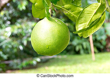 Pomelo fruit on the branch tree