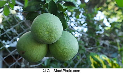 Pomelo fruit on the tree