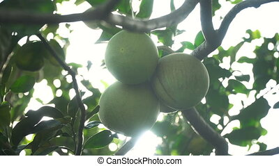 Pomelo fruit tree in the garden. - Pomelo fruit hanging on...