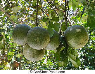 pomelo on the branch in the farm