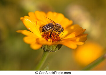 pomeranč, den, med, květ, květ, měsíček, zahrada, jasný, ráno, včela, léto, -