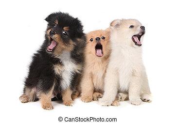 pomeranian, わめく, 背景, 子犬, 白, 歌うこと