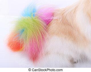 pomeranian, カラフルである, 隔離された, 犬, 尾, 手入れをすること, ホワイト ba