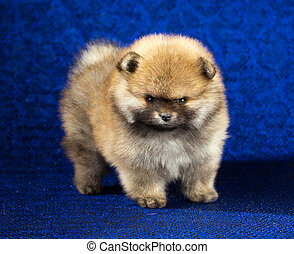 pomeranian, 小狗, 年齡, ......的, 1, 月, 在上方, 藍色的背景