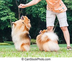 pomeranian, 狗, 站立, 上, 它, 後面的腿, 為了得到, a, 對待