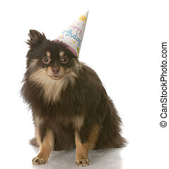 pomeranian birthday