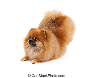 Pomeranian Bowing Looking to Side