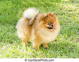 Pomeranian dog - A side view of a small young beautiful...