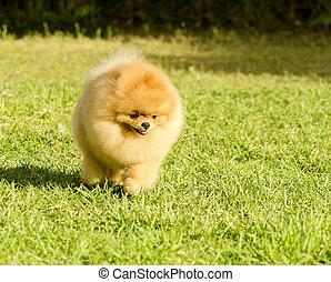 Pomeranian dog - A small young beautiful fluffy orange...