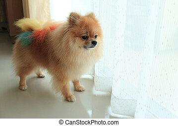 pomeranian dog alone in home, cute pet in house