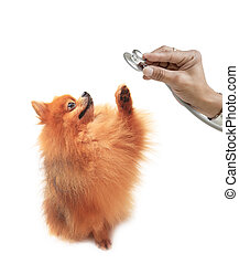 Pomeranian dog and hand holding ste