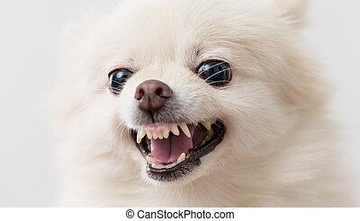 Pomeranian dog barking