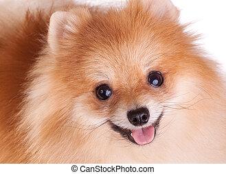 Closeup of a Pomeranian dog. Funny smile