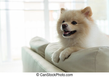pomeranian dog cute pet happy smile in home