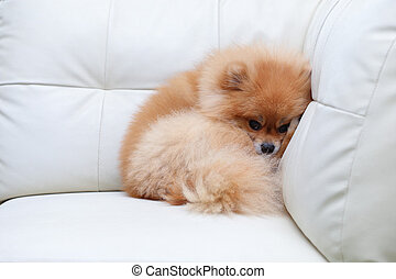 pomeranian dog cute pets sleeping on white sofa
