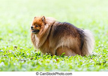 Pomeranian dog defecating on green grass in the garden