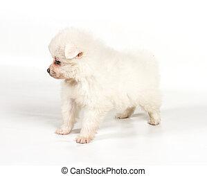 Pomeranian dog isolated on a white background