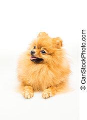 Pomeranian dog isolated on white