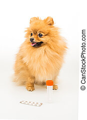 Pomeranian dog isolated on white with empty container and pills