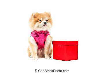 Pomeranian dog next to an red present box