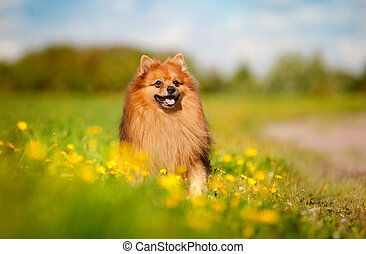 pomeranian dog on the field - cute pomeranian dog on the...