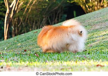 Pomeranian dog peeing on green grass in the garden