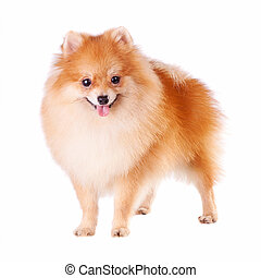 Pomeranian Dog - Pomeranian dog isolated on a white...