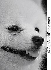 Pomeranian dog