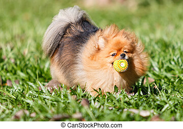 Pomeranian dog playing with a ball toy on green grass in the gar