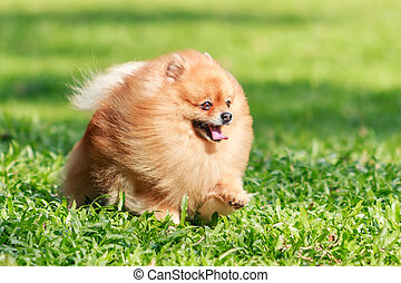 Pomeranian dog running on green grass in the garden