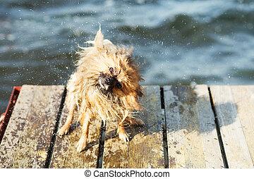 Pomeranian dog shaking off water.
