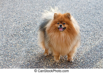 Pomeranian dog standing on pathway in the garden