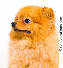 Pomeranian dog on a white background