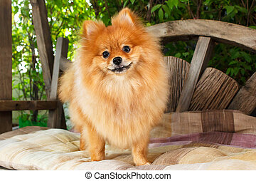 Pomeranian dog. - cute pomeranian dog portrait at home,...