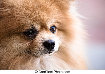 Pomeranian dog - A closeup shot of a cute pomeranian dog