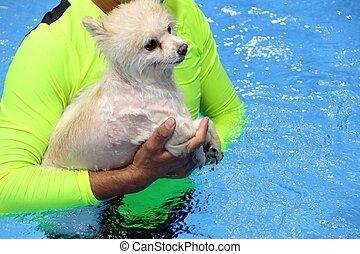 Pomeranian dog swimming in the pool