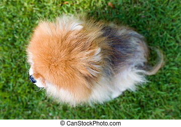 Pomeranian Dog, Top View