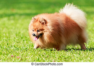 Pomeranian dog walking on green grass in the garden