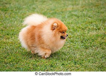 pomeranian dog walking on the grass