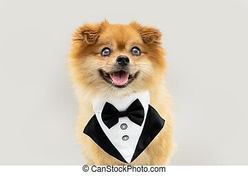 Pomeranian dog wearing a tuxedo for birthday or valentine's day. Isolated on gray background