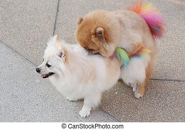 Pomeranian dogs mating